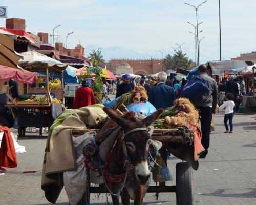 Burro con Atlas de  fondo Marrakech